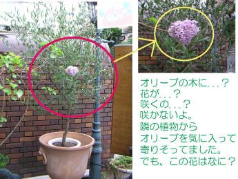 オリーブの木と花